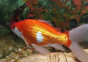 El pez cometa mascotas for Peces goldfish tipos