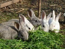 conejos-comiendo