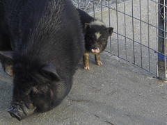 Cerdo Vietnamita: Alojamiento y cuidados