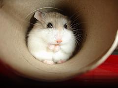 Tipos de hamster