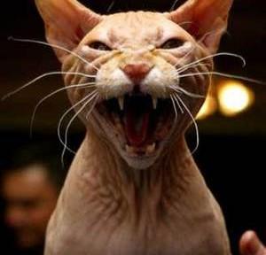 El fuerte carácter de los gatos