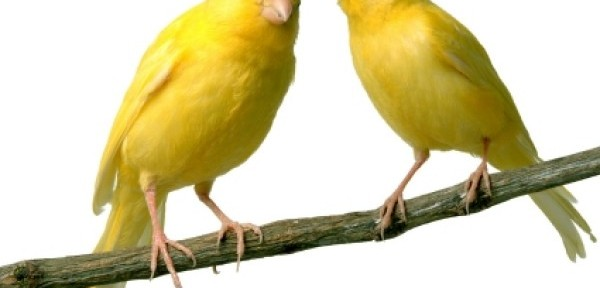 Los canarios en casa, siempre