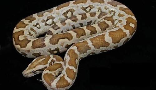 La python molorus