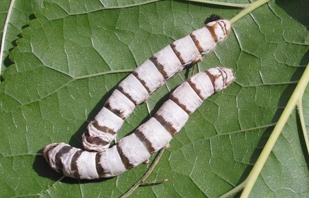 La cría de gusanos de seda