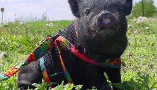 Cómo tener un cerdo vietnamita