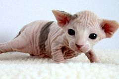 240px-2_week-old_Female_Sphynx_Suki.jpg