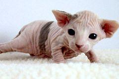 Gato esfinge, gato sin pelo