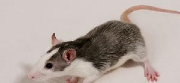 rata-de-mascotas_29393801-626x288.jpg