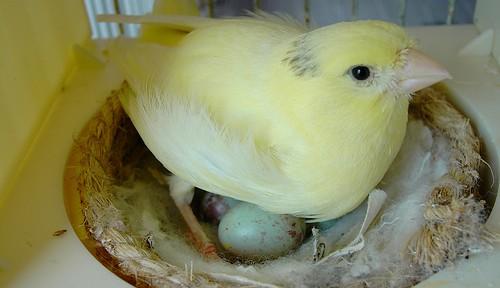 El cortejo y cría del canario