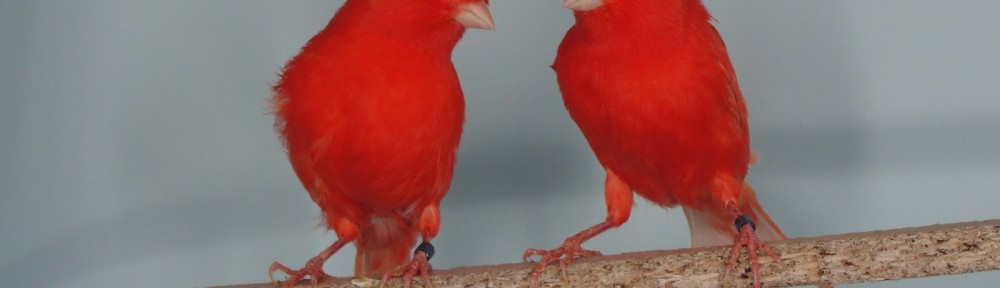 Las canarias guapas que dejan sin palabras a los canarios