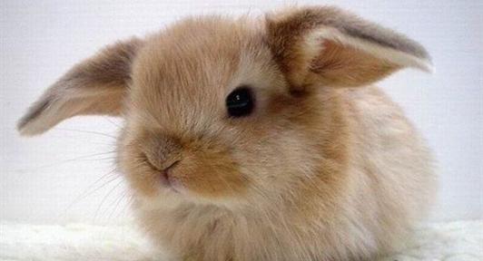 regalo-preciosos-conejos-enanos-angora-16308834_3-532x288.jpg