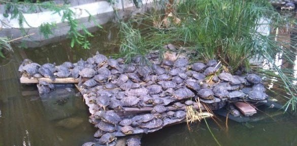 Tortugas abandonadas en el Jardín Botánico de Atocha