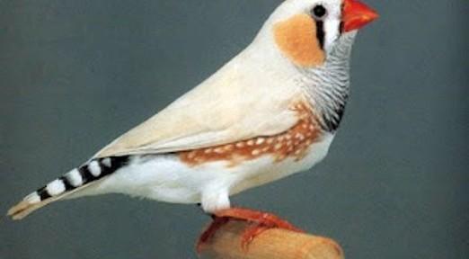 Los pájaros también se sonrojan. El canario diamante mandarín