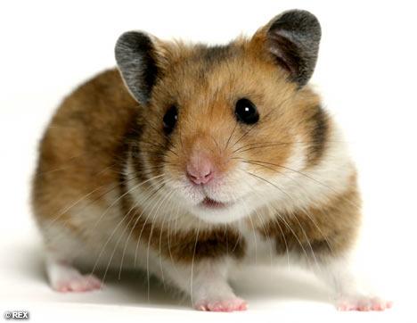 Hamster, la elección