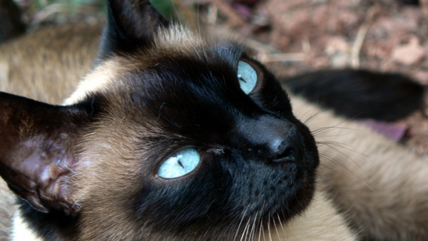 Siames, un gato muy especial