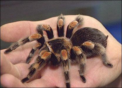 tarantula-imagen-foto.jpg