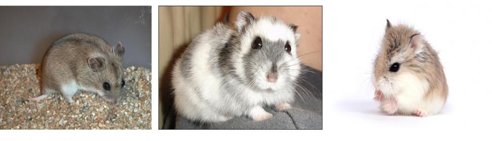 Razas-de-hamster-2-1000x288.jpg