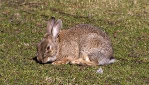 Vaculas para tu conejo