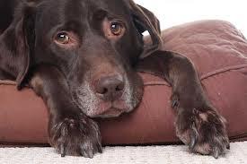 La conjuntivitis en perros y gatos