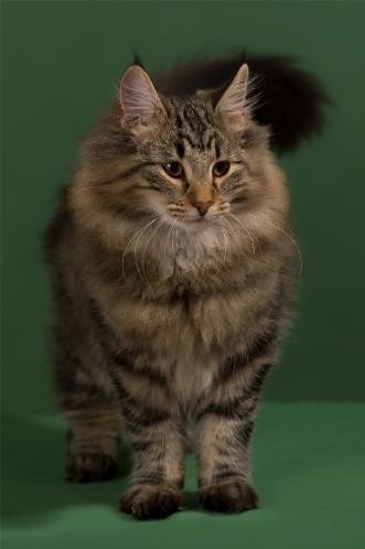 norwegian-wood-cat-1.jpg