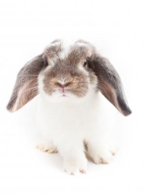 La esterilización en los conejos: ventajas y mitos