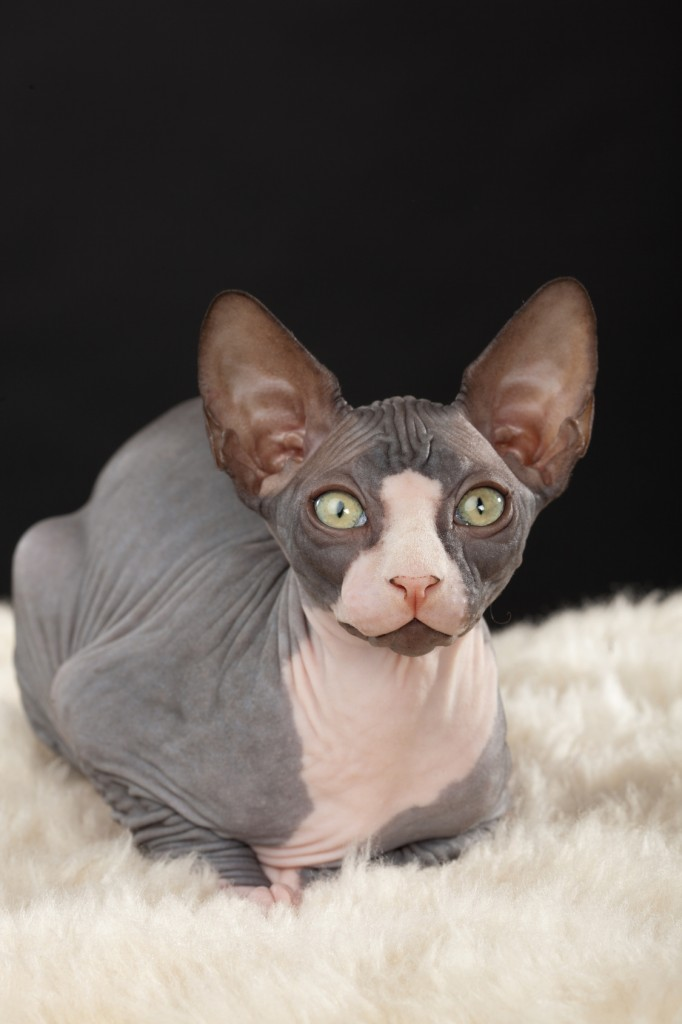 ¿El gato más feo del mundo?
