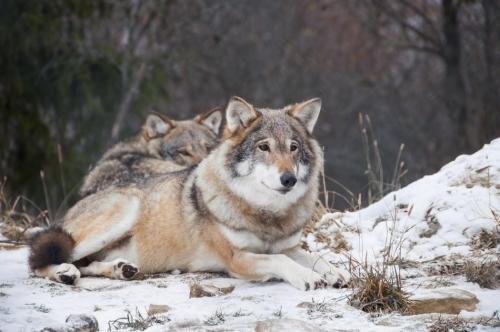 El peligro de cruzar perros y lobos