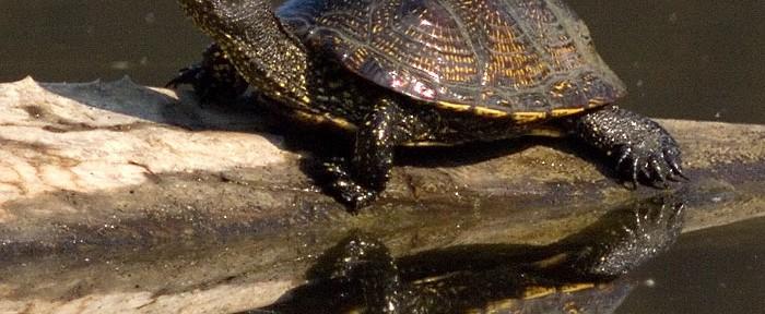 La tortuga como animal de compañía