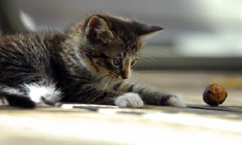 gato-adoptado