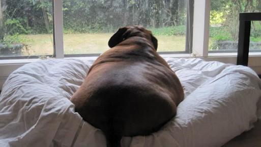 Los problemas que causa el sedentarismo en los perros